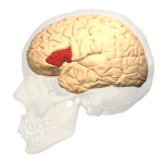 Broca's_area_-_lateral_view