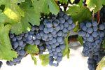 Bluegrapes.theproduceblog