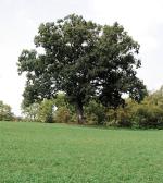 Shawtree